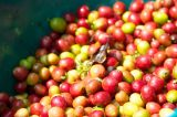 How Coffee Beans Are Processed and Flavored